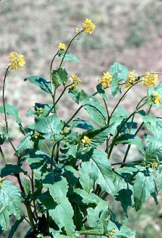 click for larger image of Black mustard - Mature